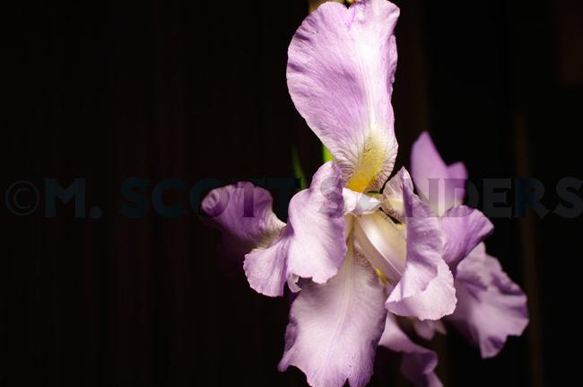 Iris Day 1