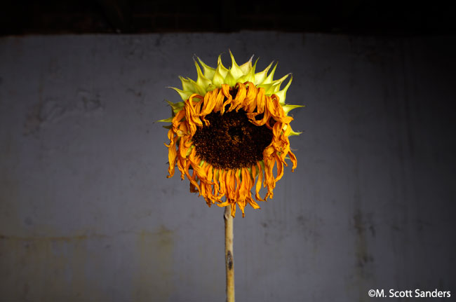 Sunflower #4, drooping
