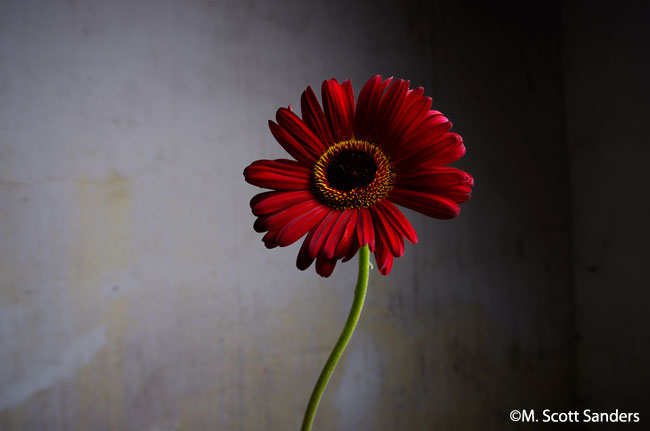 Death of a Flower: Gerber Daisy