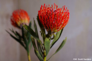 Pincushion Protea, day 1