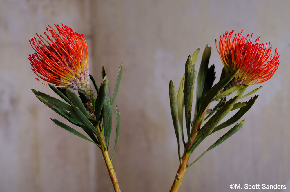 Pincushion Protea, day 1, Twins