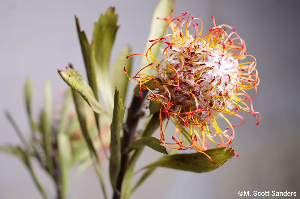 Pincushion Protea, day 10