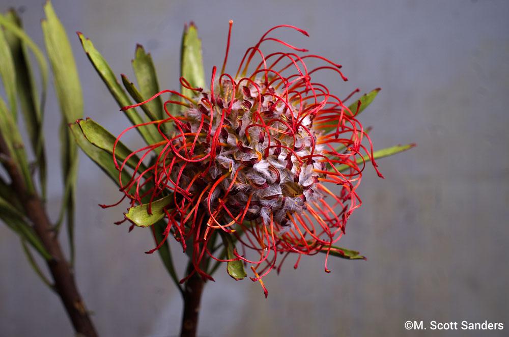 Pincushion Protea, day 6