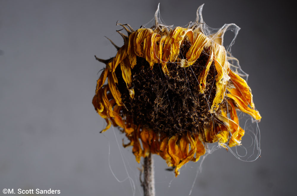 Sunflower with Cobwebs